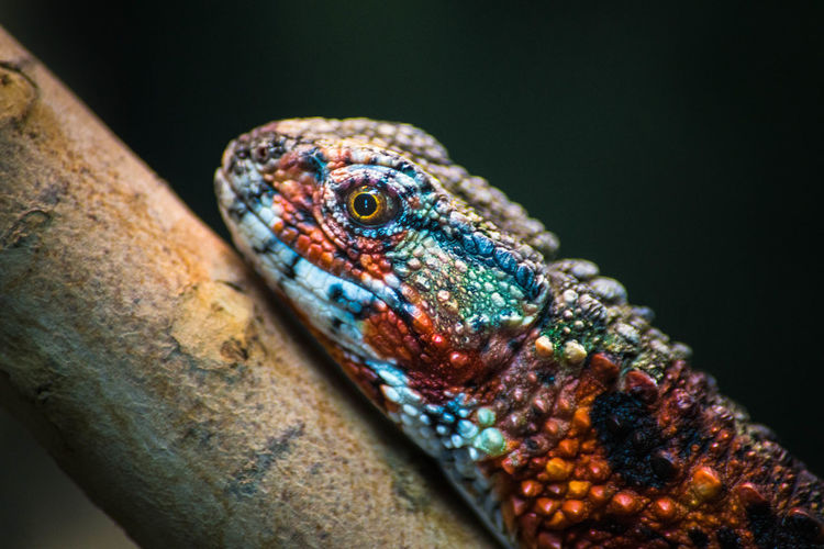 Animal Themes Animal Wildlife Animals In The Wild Close-up Colorful Day Exotic Nature No People One Animal Outdoors Reptile