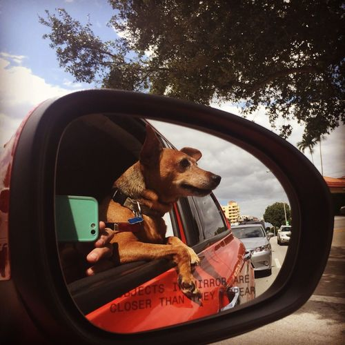 Riding joyful Mode Of Transport Dog Reflection Side-view Mirror Domestic Animals Curiosity Eyeemdoglover Doggy Love Doggyselfie