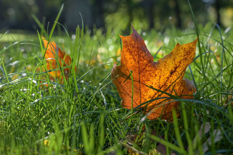 Close-up of yellow maple leaf on grass