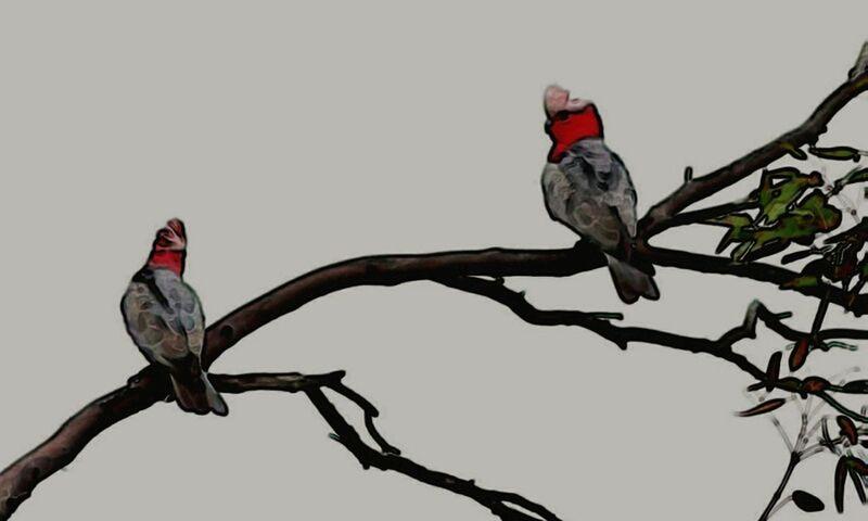 Two Galahs Sitting On A Tree Branch. :) EyeEm Birds Birds Bird Photography Birds_collection Treegasmic Tuesday Trees EyeEm Best Shots EyeEm Best Edits EyeEm Nature Lover Nature Photography