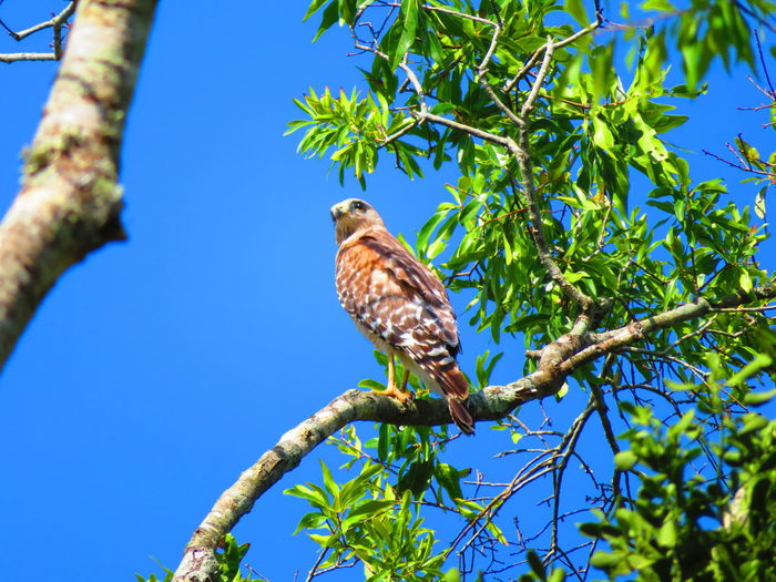 Hawk in the wild on branch Hawks Hawks Of Eyeem Hawk Hawk - Bird Florida Bird Tree Perching Branch Blue Full Length Sky
