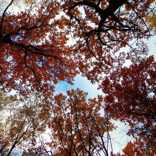 Bright colors of autumn leaves Autumn Autumn Colors Autumn Leaves Leaves Leaves 🍁 Leaves And Sky Low Angle View Tree Nature Sky Day Outdoors Full Frame No People Beauty In Nature Clear Sky Forest