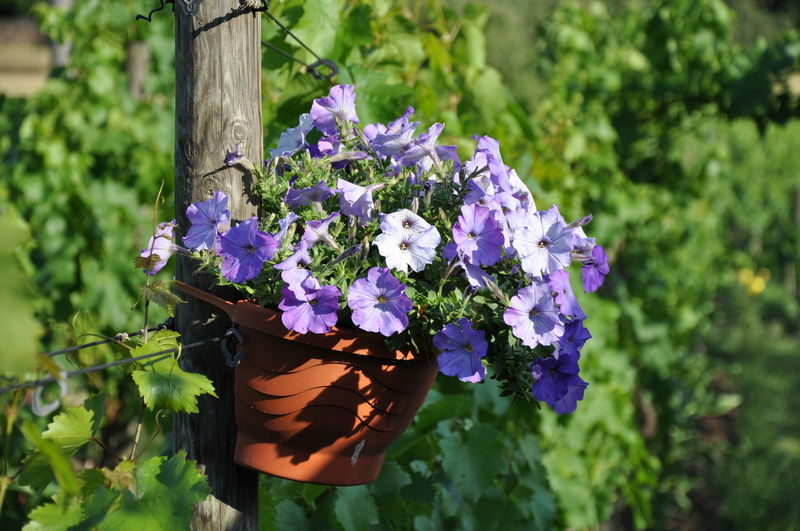 Flower Pot Blooming Blue Petunia Flowers Close-up Flower Flower Head Focus On Foreground Petunia Plant