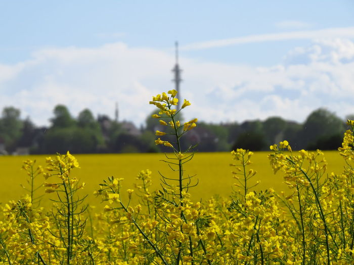 Plant Growth Yellow Beauty In Nature Land Flowering Plant Oilseed Rape Oilseed Rapeseed Rapeseed Field Agriculture Agricultural Field Agricultural Land Rural Scene Rural Yellow Plant Yellow Color Canola Canola Field Field Colza Rap Rape Seed Fields Raps Rapsfeld Rapsblüte Farming Organic Farming Crop  Crops Rapeseed Oil Colza Field Fields Crop  Flower Sky Scenics - Nature Field And Sky Springtime Spring Spring Flowers Nature Landscape Day No People Focus On Foreground Architecture Outdoors Cultivated Land Cultivate Springtime Decadence
