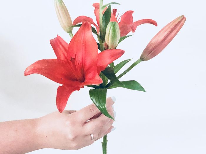 Women's Hand holding orange lilies. The white background makes the lilies a pop of color. Orange Lilies Green Leaves☘️ White Background Womans Hand Lilies Womans Hand Blue Nailpolish