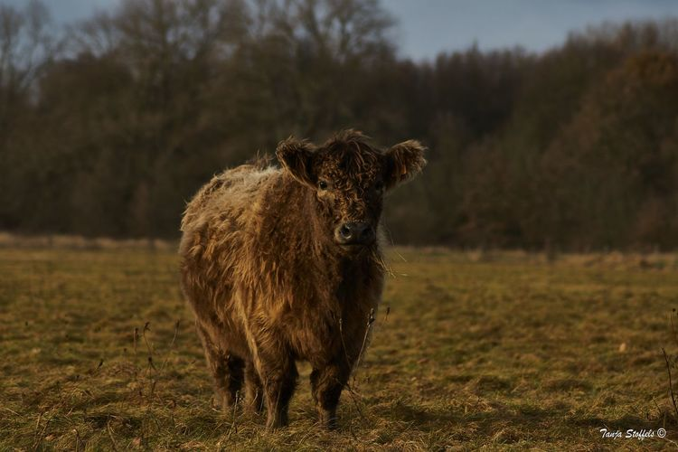 Animal Themes Beauty In Nature Domestic Animals Field Focus On Foreground Galloway Grass One Animal Wild Cows