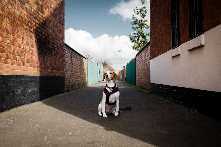 Beagle sitting on road amidst buildings against sky during sunny day