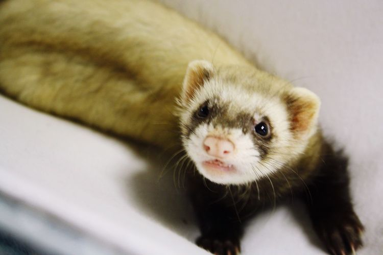 Baby Mojo :) such a killer Ferret Cute Pets Mojotheferret Babyferret Baby Playtime