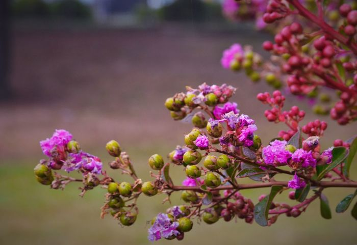 Flower Fragility Freshness Growth Beauty In Nature Petal Focus On Foreground Pink Color Close-up Blossom Purple Botany Bud In Bloom Nature Flower Head Park - Man Made Space Plant Branch