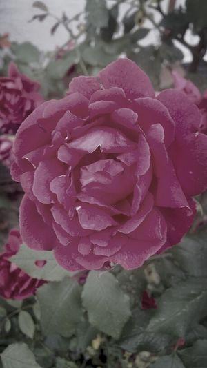 Rosé Flower Flower Power Nature