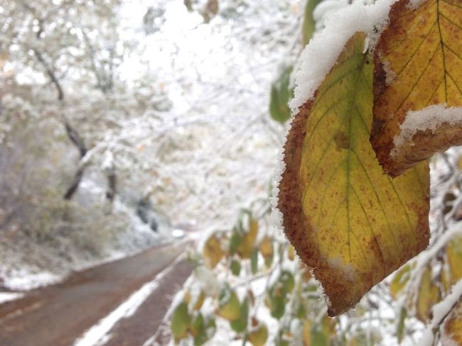 first snow of the year Leaf Nature Tree Growth Close-up Day Outdoors Beauty In Nature Fragility No People Scenics Tranquility Cold Temperature Beauty In Nature Nature