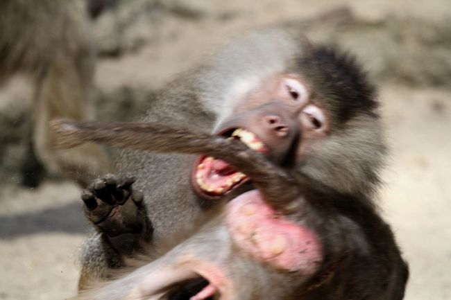Aggression  Animal Themes Animal Wildlife Animals In The Wild Behavior Biting Close-up Day Focus On Foreground Mammal Monkey No People One Animal Outdoors Primate