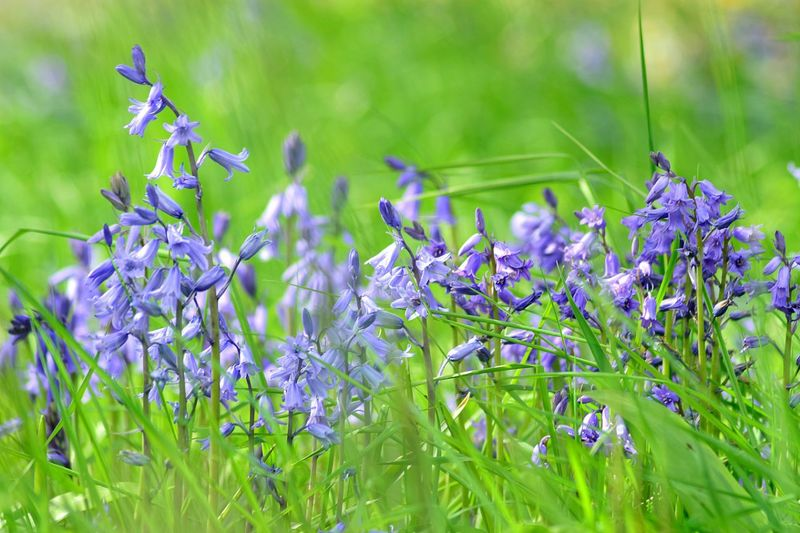 Close-up of english bluebells blooming