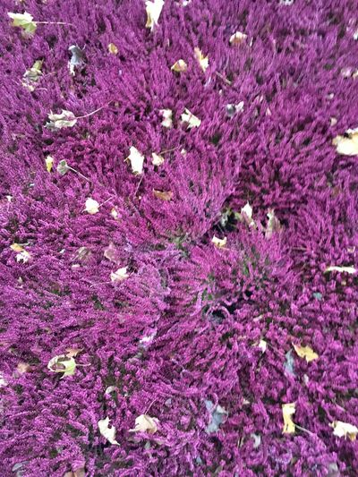 Flower Growth Purple Nature Plant No People Freshness Beauty In Nature Fragility Close-up Outdoors Day