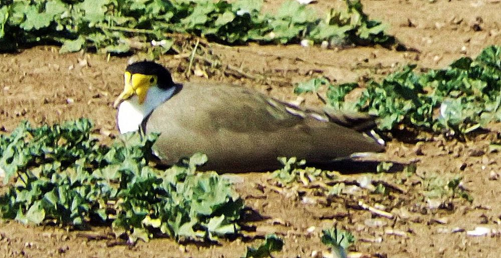 Bird Australian Wildlife The Purist (no Edit, No Filter)