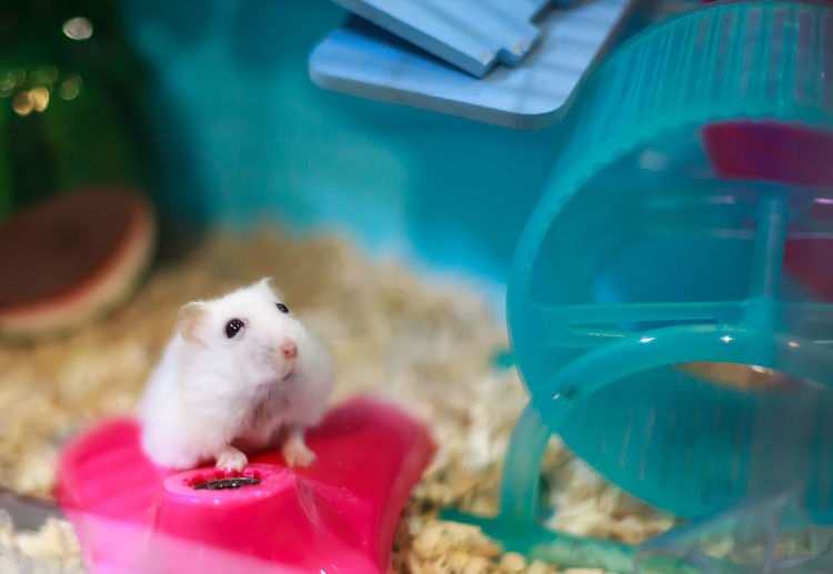 Cute Exotic Winter White Dwarf Hamster begging for pet food with innocent face. Winter White Hamster is also known as Winter White Dwarf, Djungarian or Siberian Hamster. Animal Mammal Pets Rodent One Animal Domestic Animals Hamster Winter White Hamster Vet  Clinic Healthy Exotic Fun Friend Love Care Cute White Innocent Begging Owner Life Tamed Treat Background