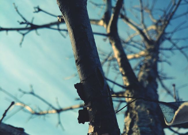 Tree Tree Trunk Bare Tree Branch Sky Low Angle View Nature No People Beauty In Nature Outdoors Day Dried Plant Close-up