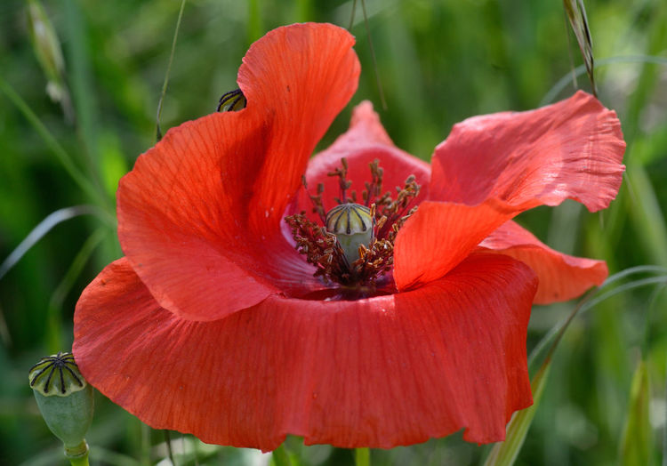 Close up of a poppy bloom with stamens in evidence Stamen Pistil Beauty In Nature Petal Pollen Red Close-up Nature Freshness Flower Flowering Plant Flower Head Green Background Meadow Outdoors Focus On Foreground Pollination Grass EyeEmNewHere EyeEm Nature Lover Flora Botanical