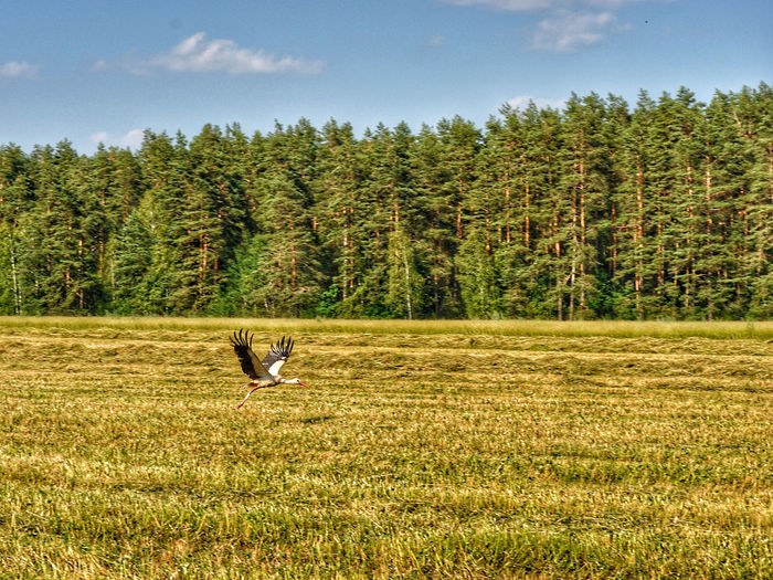 Stork Flying Over Grassy Field By Forest Against Sky