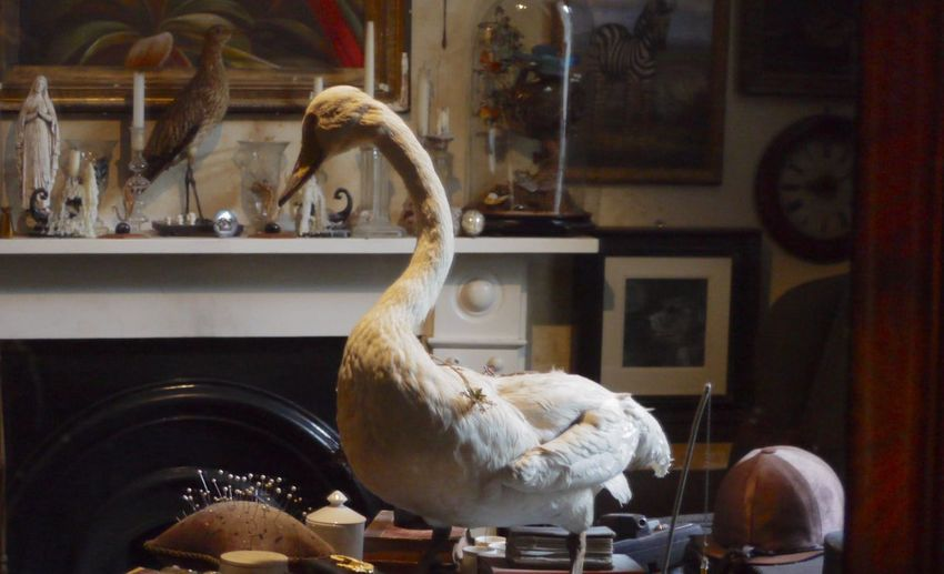 Animal Themes Bird Day Indoors  Indoors  Library No People Objects D'art One Animal Swan Taxidermy