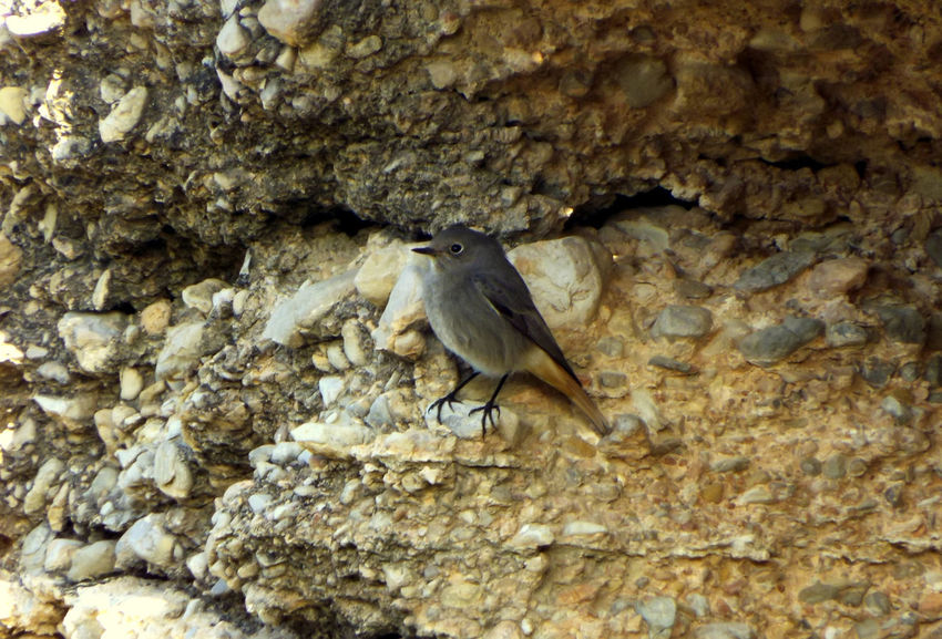 Bird Birdwatching Black Redstart Colirrojo Tizón Cotxa Fumada One Animal