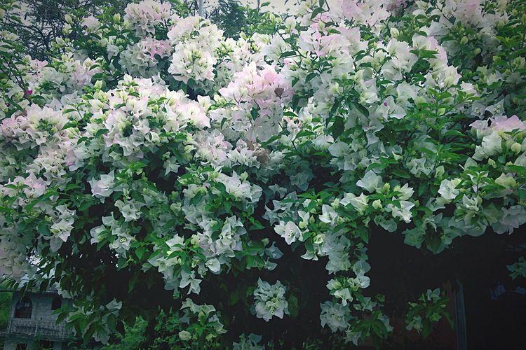 Spring Flowers Flower Tree Flowers Tantoyuca