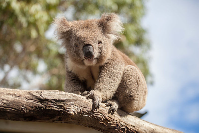 Low angle view of koala sitting on tree against sky