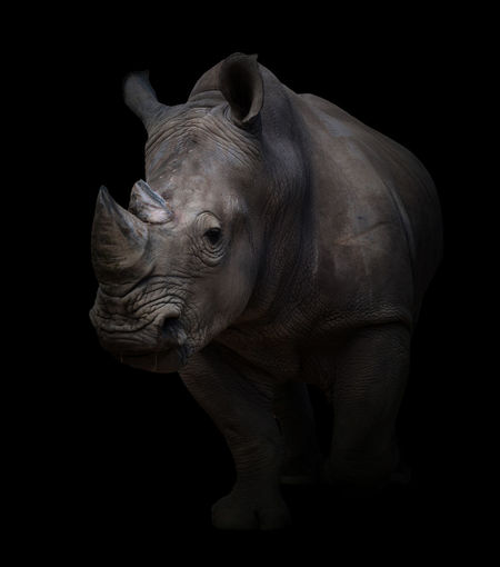 rhinoceros in the dark Animal Background Big Five Black Dark Loe Key Mammal Nature Night Rhinoceros Safari Wildlife