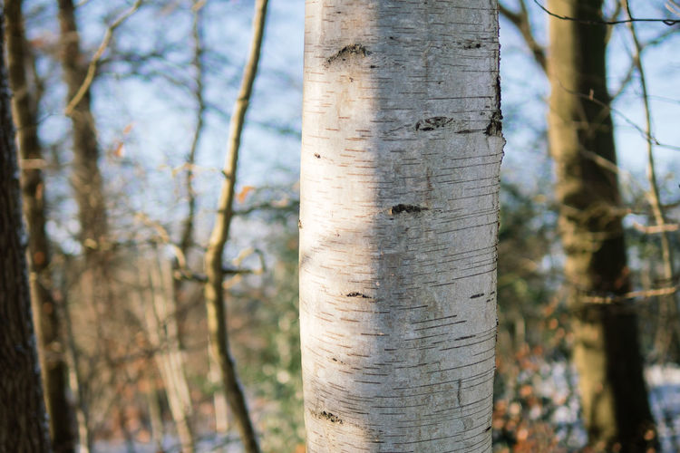 Close-Up Of Birch Tree Trunk During Winter