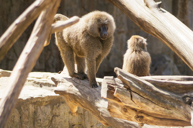 Baboons On Wood