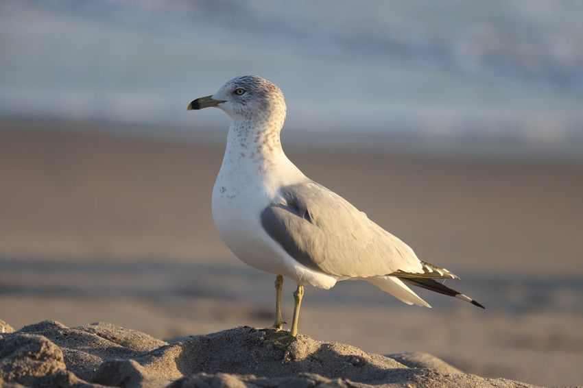 EyeEm Selects Bird Animals In The Wild Animal Themes One Animal Animal Wildlife Focus On Foreground Nature Beach Perching No People Outdoors Close-up Sky Seagull Beauty In Nature White Color Day Sea Bird Sand