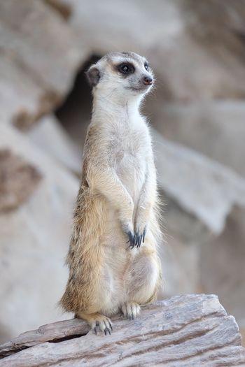 Animal Animal Themes One Animal Meerkat Day Mammal Sitting No People Close-up Nature Outdoors Lookout Alertness Alert Alert Meerkat Big Eyes The Week On EyeEm
