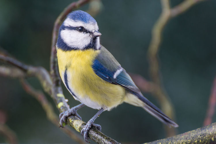 Close-up of a bluetit perching outdoors