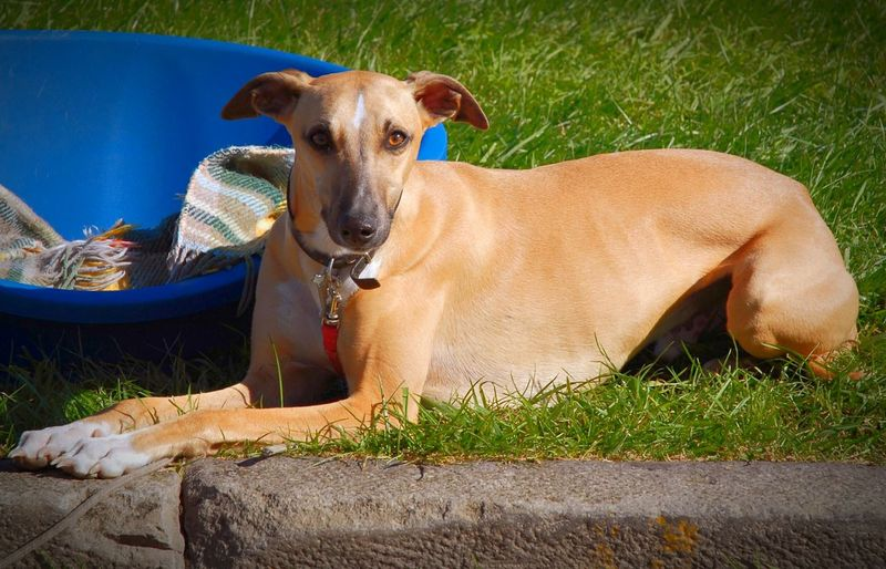 Italian Greyhound EyeEm Best Edits EyeEm Best Shots EyeEm Animal Lover Dog Dogs Dog❤ Dog Love Greyhound Greyhounds GreyHound Love Italian Greyhound Animal Mammals Pet Dogslife Dogs Of EyeEm Dog Portrait