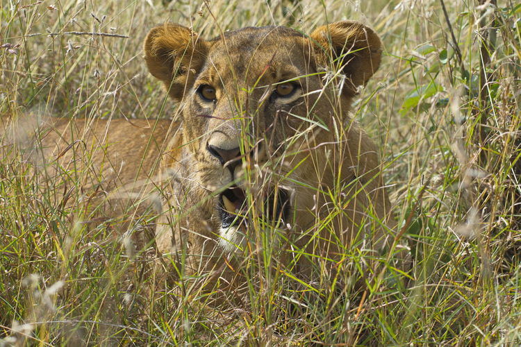Lioness in high