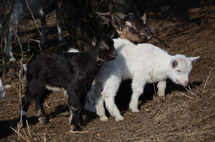 Animal Themes Domestic Animals Farm Farm Life Goats Kid Goat Mammal Nature Outdoors Ranch Ranch Life Wild Wildlife Young Animal Young Goats