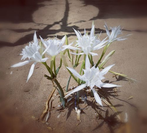 pancratium maritimum Flower Fragility Beauty In Nature Summer2016 Summer Memories... Magic Moments Plant Seaside Sicily Isola Delle Correnti