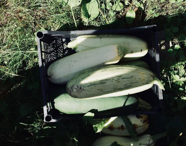 Farm Zucchini Close-up Container Country Life Countryside Courgette Food Freshness Green Color Harvest Healthy Eating Nature No People Outdoors Plant Squash Vegetable Wellbeing