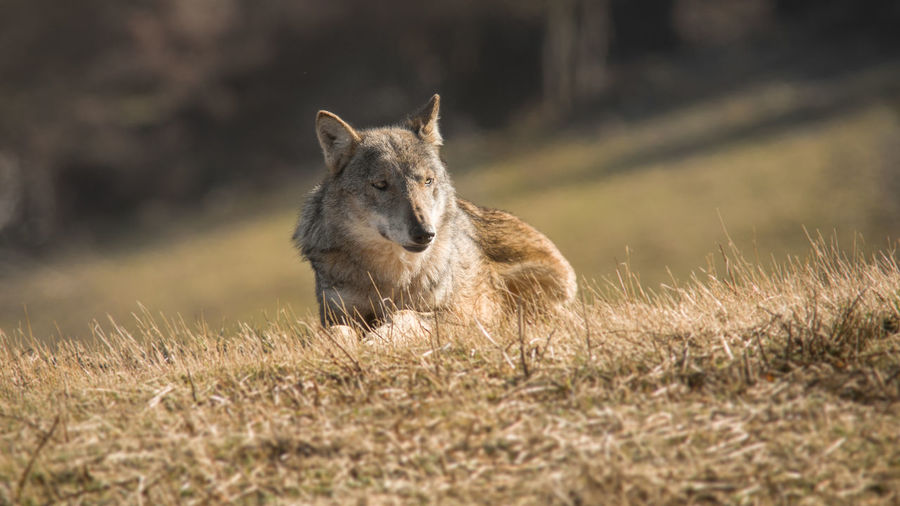 Italian wild wolf Autumn Alone Wolf Animal Themes Animal Wildlife Animals In The Wild Beauty In Nature Day Grass Italian Wildlife Italian Wolf Mammal Nature No People One Animal Outdoors Wolf