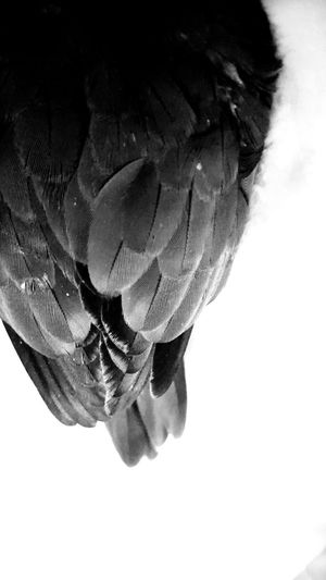 B&W Photo of the back of Puffy's wings Hanging Out Taking Photos Relaxing Enjoying Life Petlover Cute♡ Conure Petslife Birds Birds_collection Greencheekconure Pet Lover Pet Love Cutepets Bird PhotographyPet Photography  Cute Pets Petlove  Pet Portrait Pets Corner Taking Photos Cuteness Pets