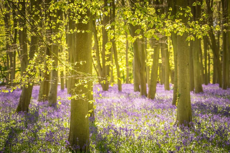 Splendour Flower Growth Nature Plant Tree No People Outdoors Beauty In Nature Purple Tranquility Day Sunlight Scenics Green Color Scented Summer Forest Landscape Tree Trunk Flowerbed