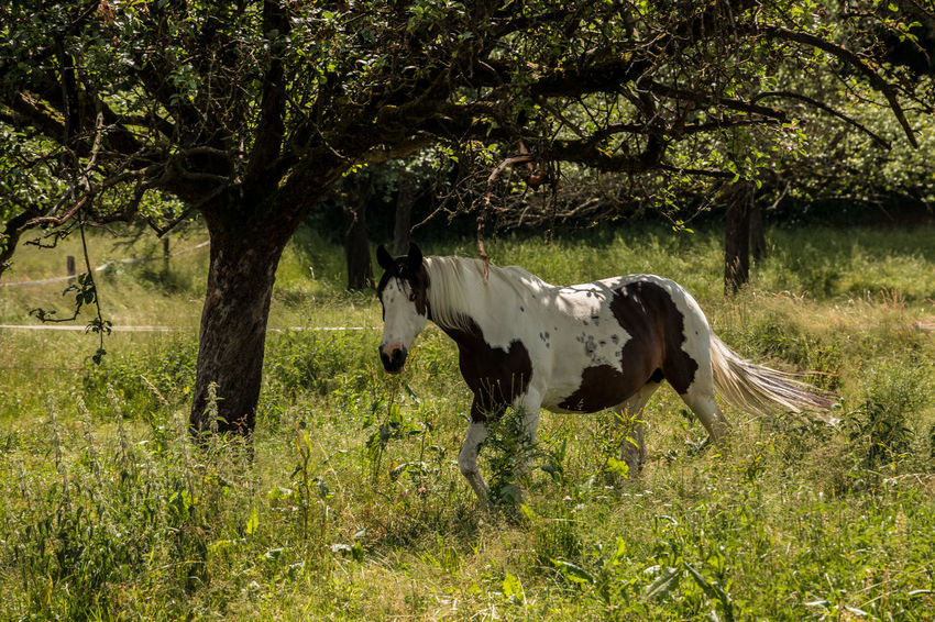 Horses on the green meadow Animal Animal Themes Animal Wildlife Day Domestic Domestic Animals Field Grass Growth Herbivorous Horse Land Livestock Mammal Nature No People One Animal Outdoors Pets Plant Standing Tree Vertebrate