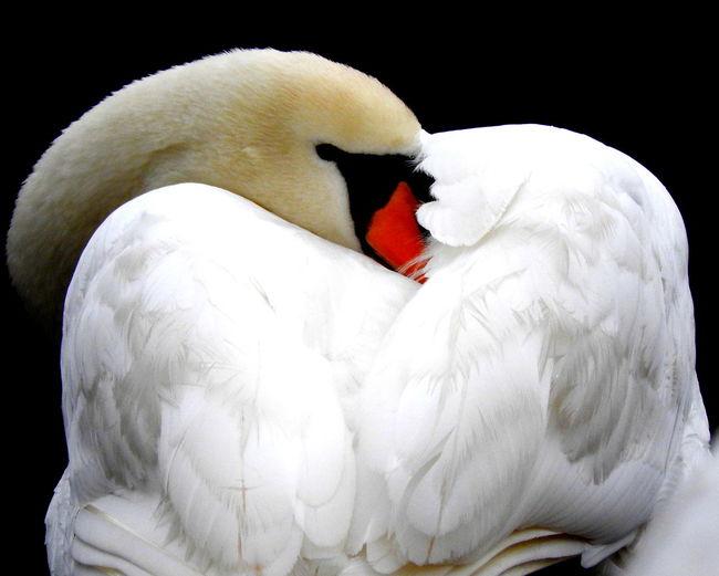 Animal Animal Themes Beautiful Swan Swans White Wildlife