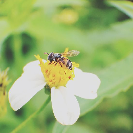 Insect Flower One Animal Plant Animals In The Wild Nature Animal Wildlife Feeding  Fragility Selective Focus Full Length Animal Themes Green Color Leaf Freshness No People Outdoors Close-up Perching Day Juvenile Hoverfly Hoverflyonflower Hoverfly On Flower