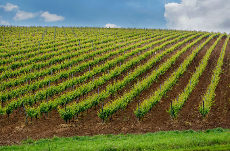 Agriculture Beauty In Nature Cloud - Sky Crop  Cultivated Land Day Field Grapes Grass Green Color Growth Hills Landscape Lines Nature No People Outdoors Plantation Rural Scene Scenics Sky Vine Vinery Vineyard