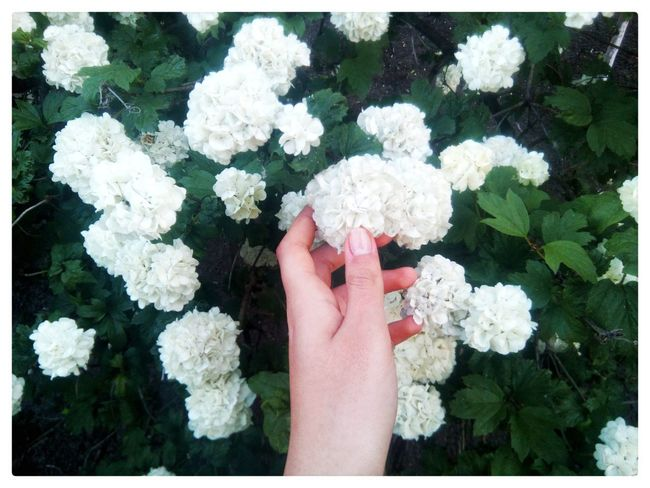 Human Hand Human Body Part Flower Human Finger White Color One Person Nature Day Real People Outdoors Beauty In Nature Close-up Freshness Flower Head People Adult Adults Only