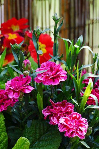 Red Flowers Red Flower Flowers,Plants & Garden Flowers My Garden @my Home Sand-le-Mere My Garden Plant
