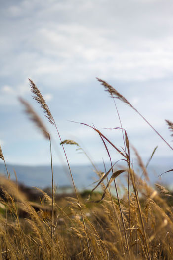 Agriculture Beauty In Nature Cereal Plant Close-up Cloud - Sky Crop  Day Field Grass Growth Landscape Nature No People Outdoors Plant Rural Scene Scenics Sky Timothy Grass Wheat