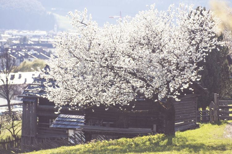 Hometown details. Blooming Bloom Tree Bucolic Landscape Idylle Spring Deceptively Simple Nature On Your Doorstep From My Doorstep Seeing The Sights Landscapes With WhiteWall Urban Spring Fever Here Belongs To Me