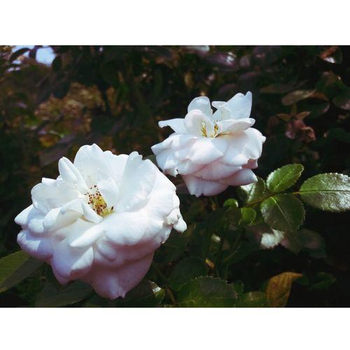 🌼🌹🌻☘🌿 Flower Head Flower Petal Pink Color Wild Rose White Color Rose - Flower Close-up Plant